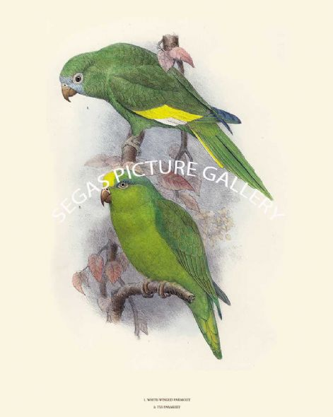 Fine art print of White Winged Parakeet & Tui Parakeet by David Seth Smith